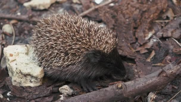little hedgehog on the yard looking for food.