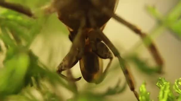 belostomatid water bug eating a planorbe snail