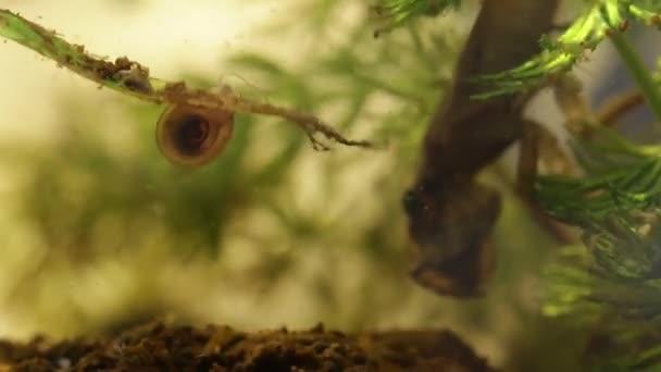 belostomatid vodní brouk pojídáním planorbe hlemýždi