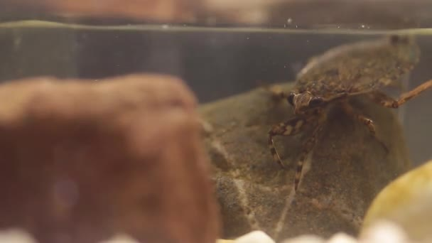 belostomatid water bug hunting for frog tadpoles