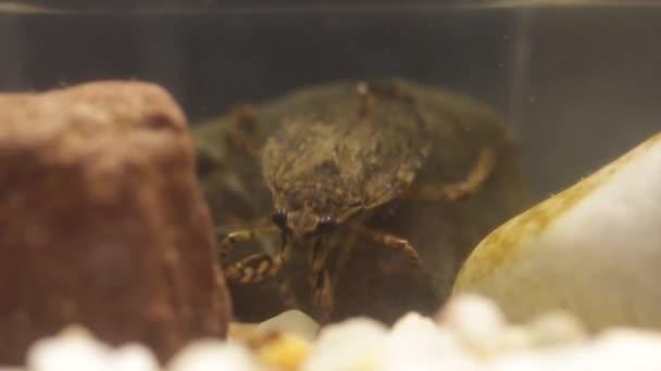 belostomatid acqua bug caccia per girini rana