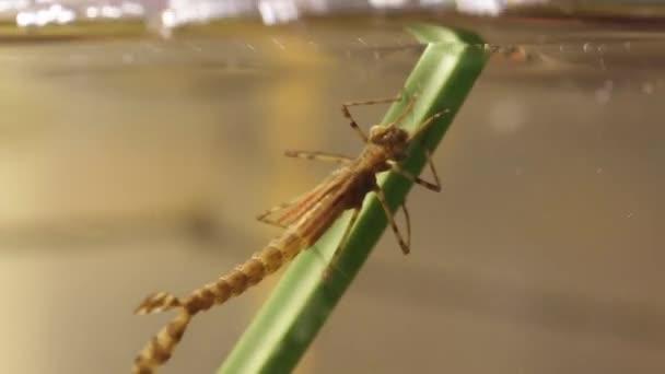 Před vstupem do metamorfózní fáze, která opustila vodu, přeletí přehrada (Ischnura denticolis, Mexická vážky)