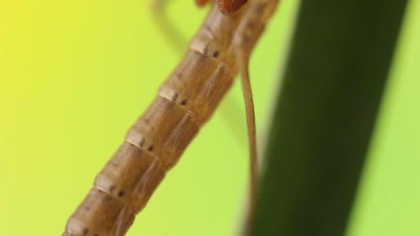 Close up of a damselfly nymph entering metamorphosis phase, Ischnura denticolis, mexican odonata