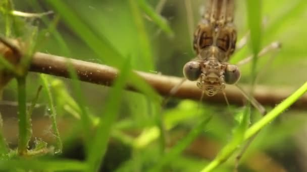Close up of a damselfly larvae head in a pond, Ischnura denticolis, mexican odonata