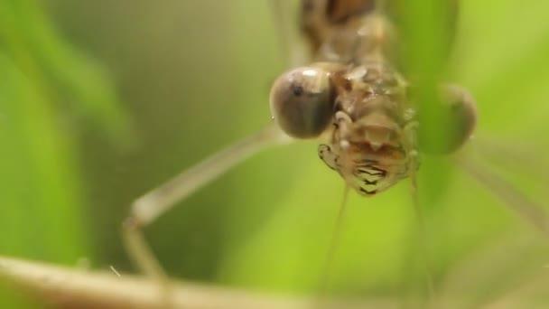 V jezírku, v rybníce, v jezeře Ischnura denticolis, Mexická vážky