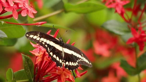 Thoas swallowtail feeding on West Indian Jasmine