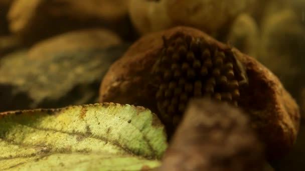 Schwangere Wasserwanzen-Männchen kümmern sich um ihre Eierschalen