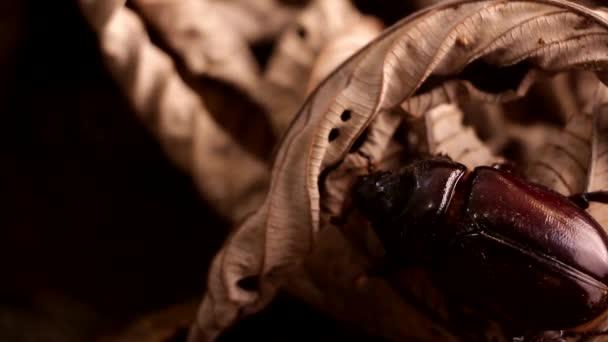 Großer Käfer kriecht nachts auf dem Boden des Regenwaldes