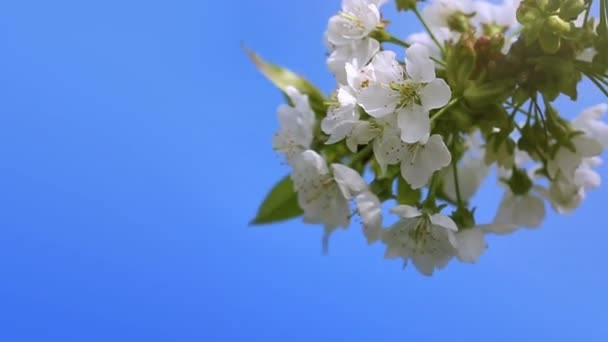 Cherry blossoms with blue sky.