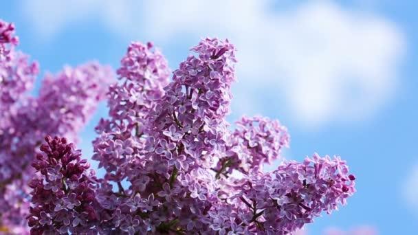 Detailní záběr na kvetoucí šeřík .