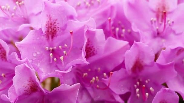 Közeli kép a gyönyörű rózsaszín azálea virágok tavasszal.