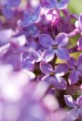 Fotografie Zavřete fialové lila keře kvetoucí v jarní den. Květiny pozadí.
