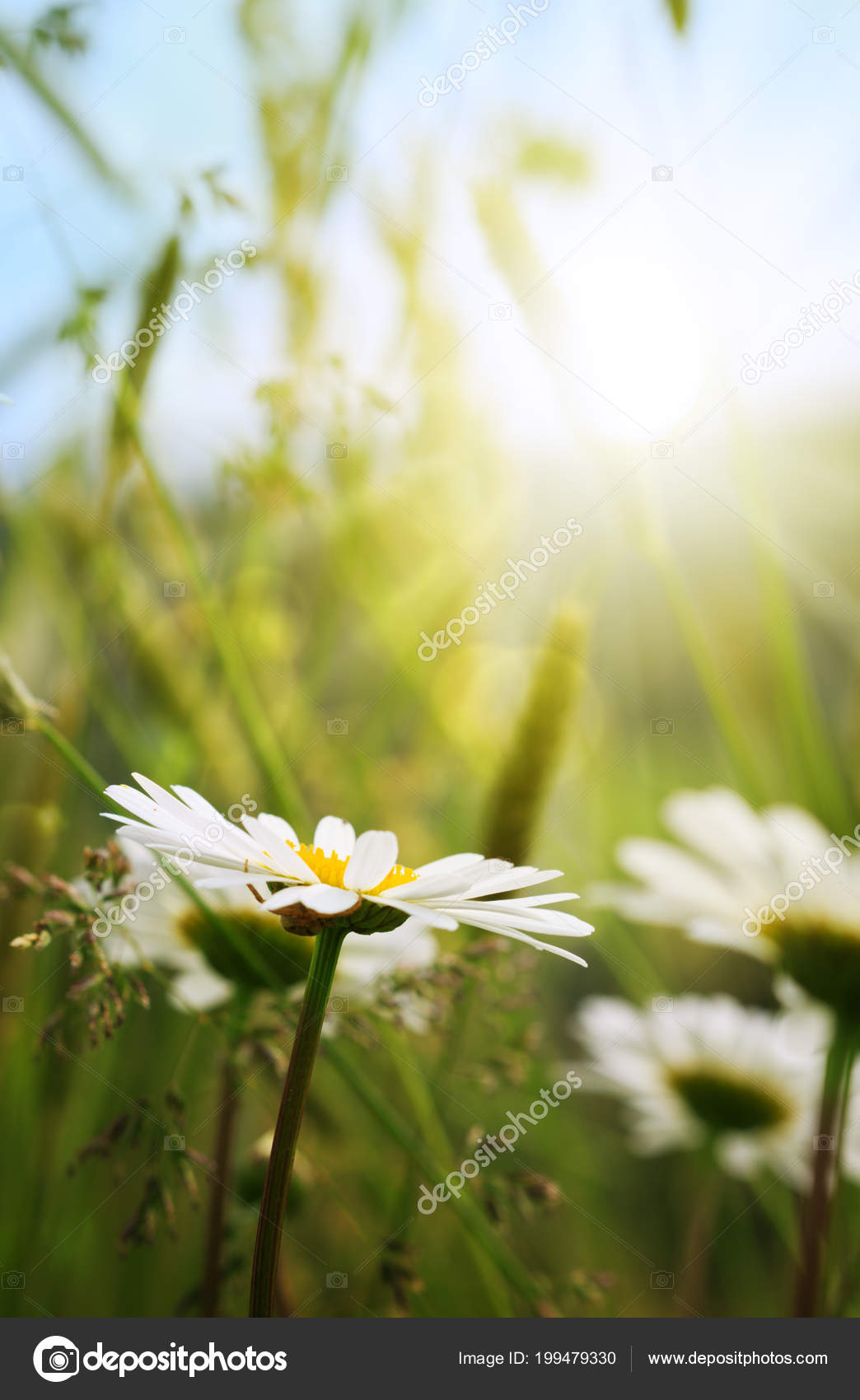 Macro shot of white daisy flowers in sunset light stock photo macro shot of white daisy flowers in sunset light stock photo izmirmasajfo