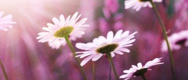 Macro Shot of white daisy flowers in sunset light.