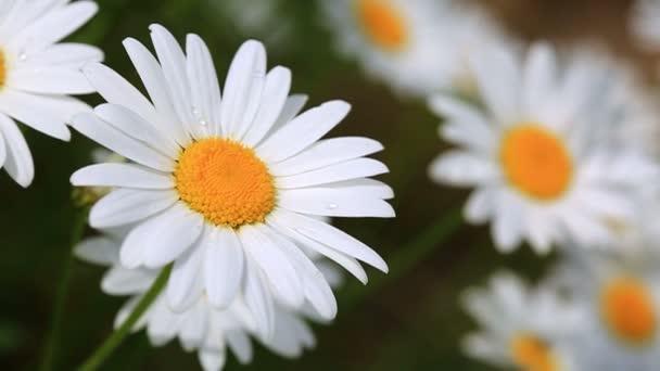 Detailní záběr rozkvetlých kopretin. Květiny pozadí