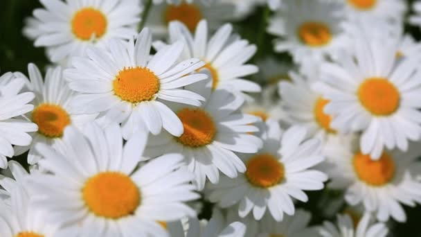 Close up of blooming white daisies flowers .Flowers background.
