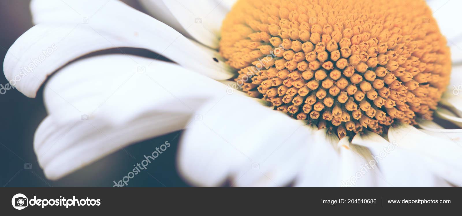 White Big Daisy Flower Isolated Stock Photo Swkunst 204510686