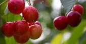 Fotografia Makro aufnahme auf red cherries.