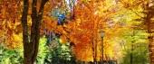Sárga őszi juharfa a Városligetben. Őszi táj.