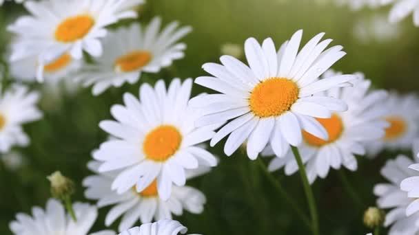 Makro snímek velké sedmikrásky. Květiny pozadí.
