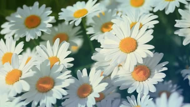 White daisies in the summer day.