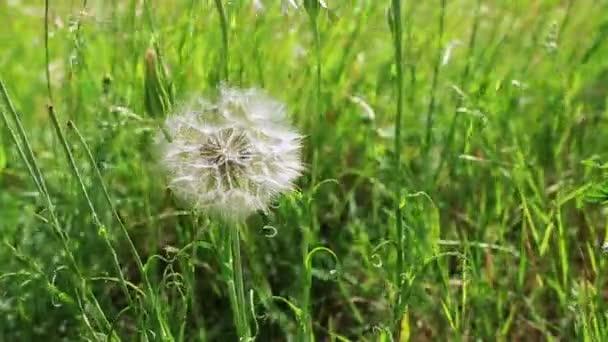 Tavaszi virágok pitypang zöld fű.