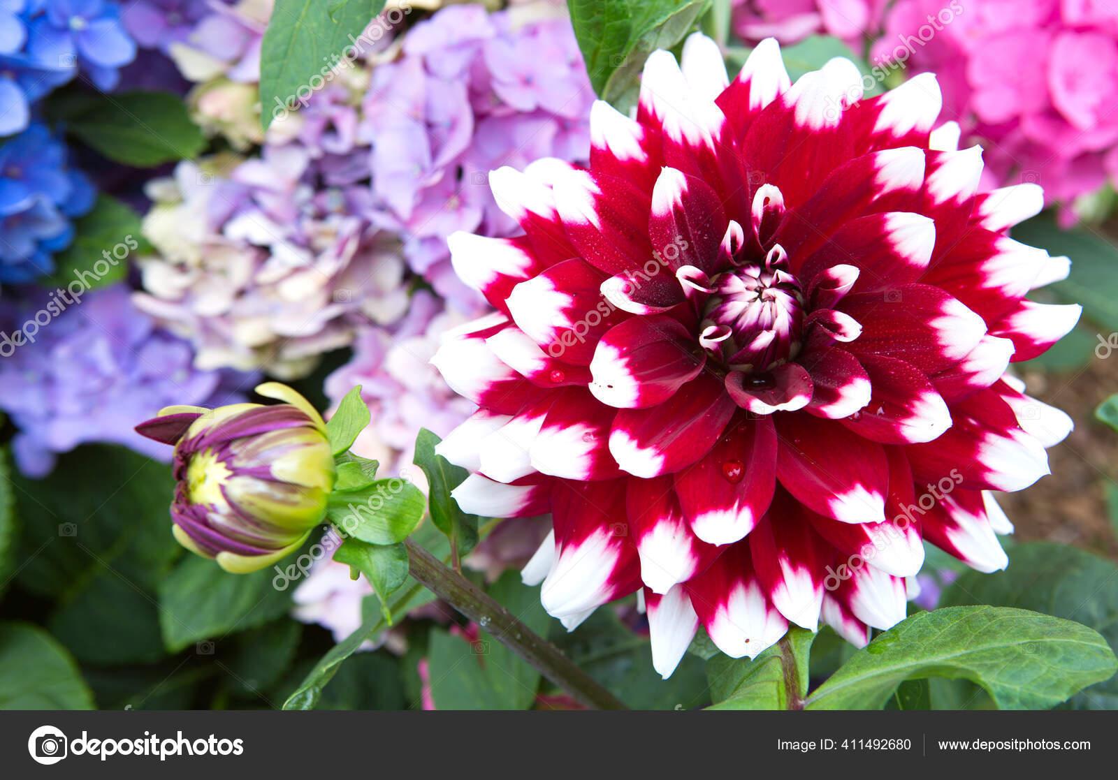 Tutup Foto Bunga Dahlia Merah Dan Putih Stok Foto C Swkunst 411492680