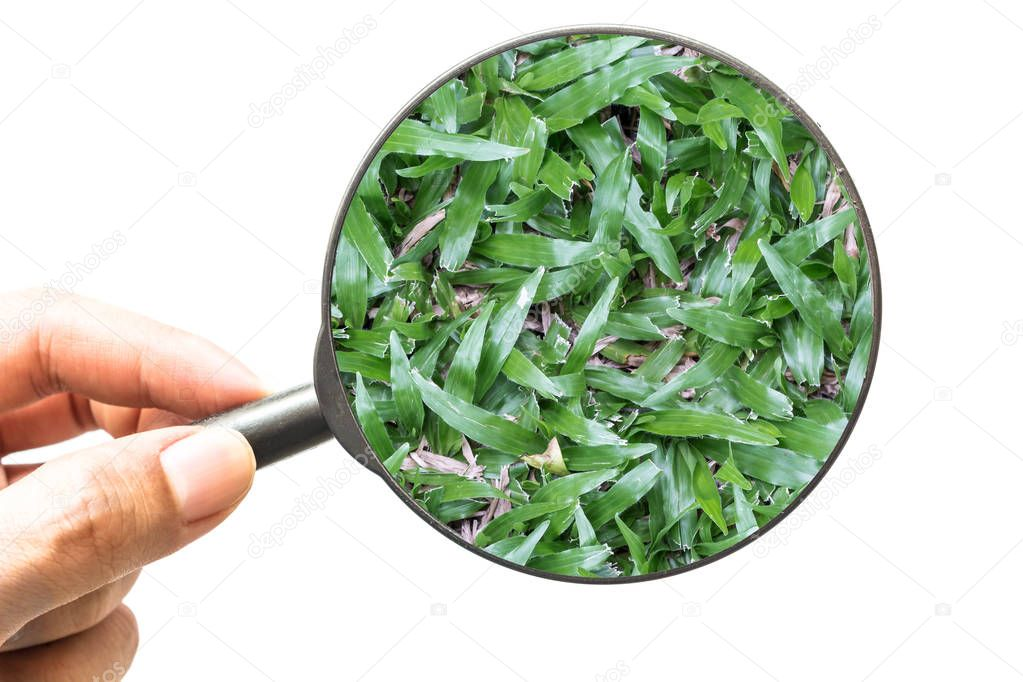 Hand holding magnifying glass with green grass isolated on white background
