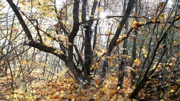 Klesající javorové listy. Sunny les na podzim.