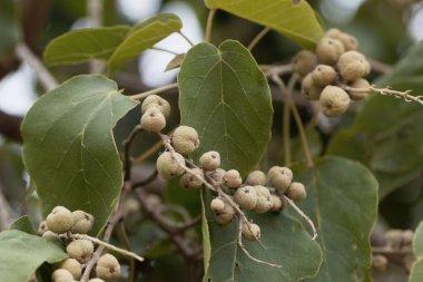 Fruits of a Broad-leaved croton tree (Croton macrostachyus)