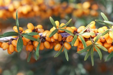 Berries of a common sea buckthorn (Hippophae rhamnoides)