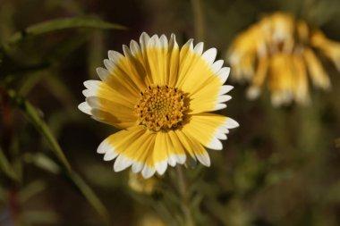 Flower of a coastal tidytips plant, Layia platyglossa