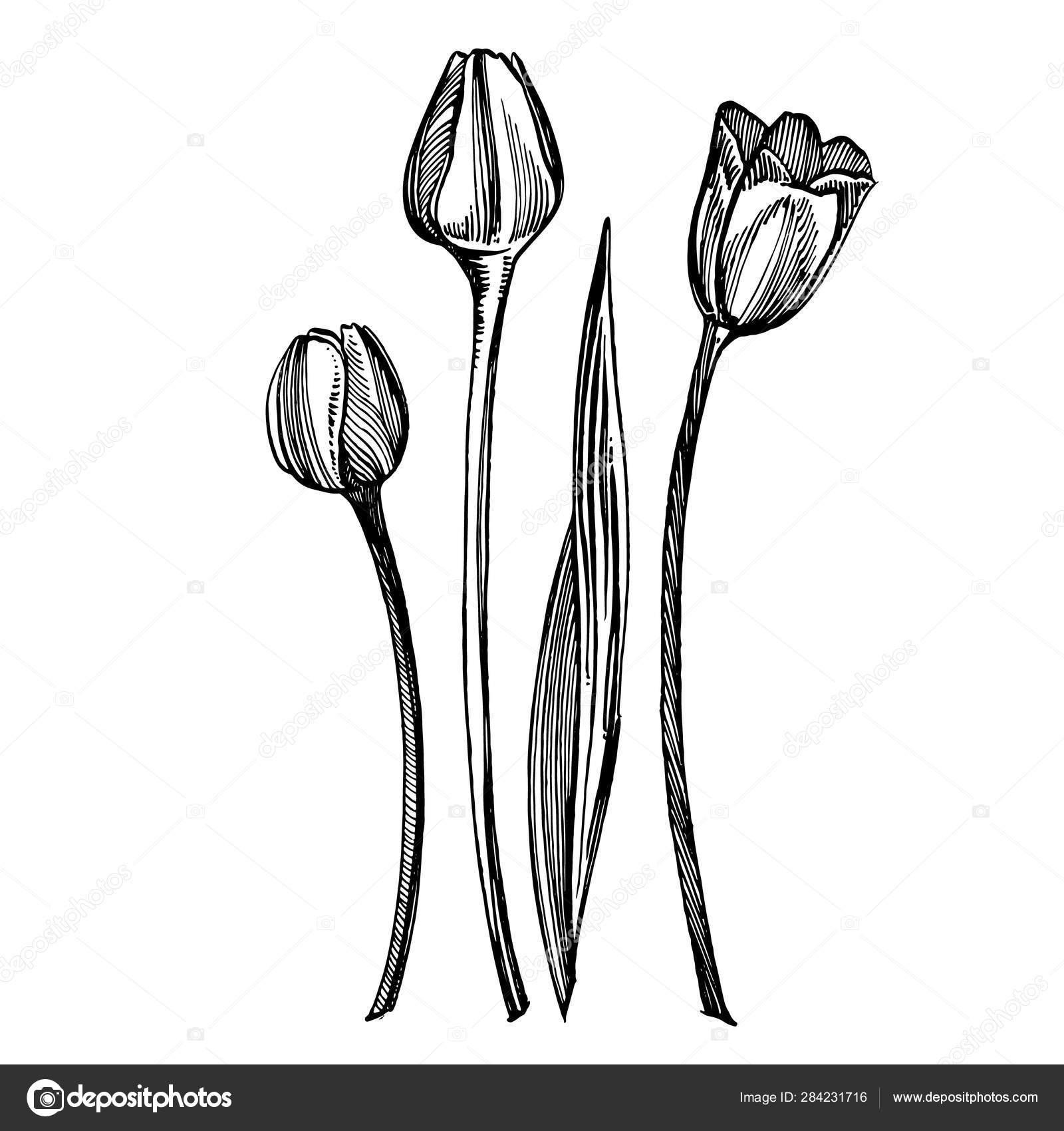 Ilustrasi Gambar Bunga Tulip Ilustrasi Tanaman Botani Vintage Obat Herbal Sketsa Set Tinta Tangan Ditarik Obat Obatan Herbal Dan Tanaman Sketsa Stok Foto C Asetrova 284231716