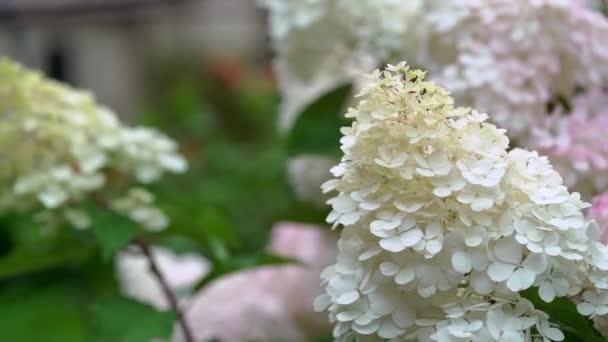 A beautiful hydrangea flower
