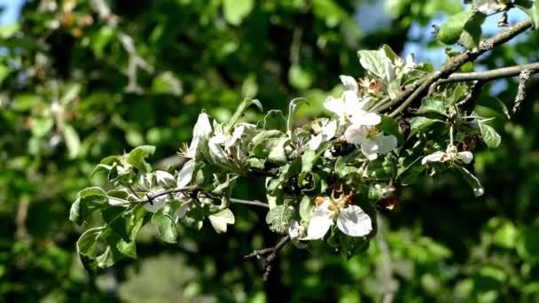 lucfenyő alma virágok egy ágon tavasszal