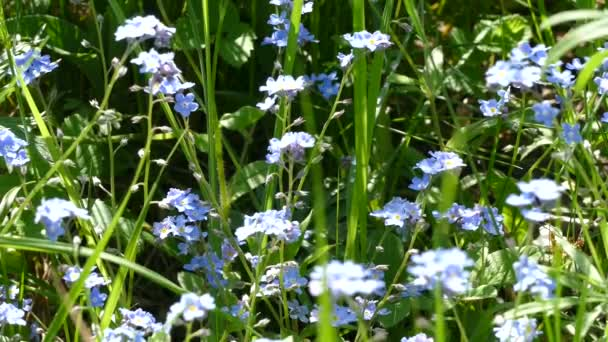 Blue flowers in the spring field