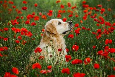 Labrador retriever dog. Golden retriever dog on grass. adorable dog in poppy flowers.