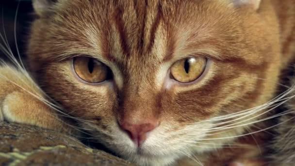 felnőtt vörös macska hirtelen kinyitja a szemét és néz a kamerába, szuper zár-megjelöl