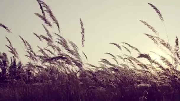 Dry sweet vernal grass at sunset, high-contrast.