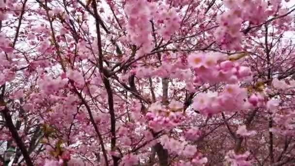 4k video nádherná příroda s jarním třešňovým květenem s růžovými květy vítr a větve