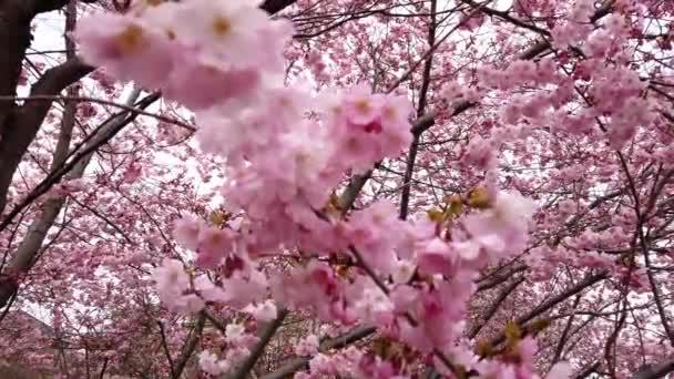4k video nádherná příroda s jarním třešňovým květenem s růžovými květy vítr a větve blízko