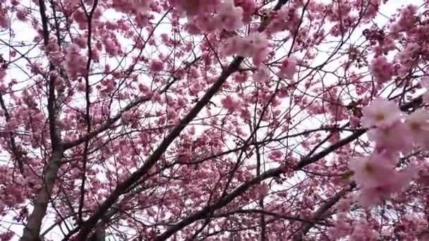 4k video Beautiful nature with spring cherry blossoms with pink flowers wind and branches close up
