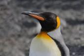 Király pingvinek fej közelről