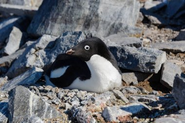 Adelie penguins in nest
