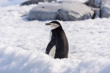 Chinstrap penguin on the snow in Antarctic