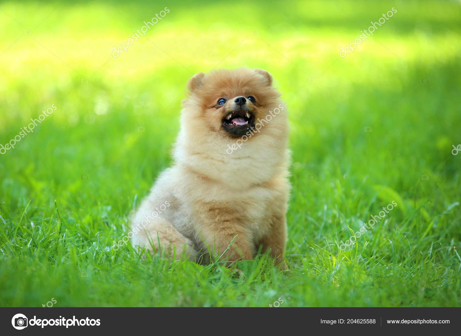 Pomeranian Dog Sitting Green Grass Stock Photo C 5seconds 204625588