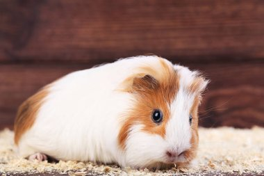 Guinea pig with sawdust on brown background