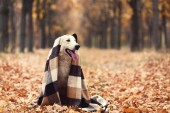 White swiss shepherd dog with plaid in autumn park