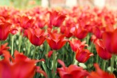 Friss piros tulipán virág a kertben