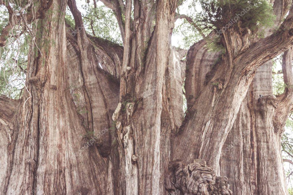 Oaxaca, Oaxaca / Mexico - 21/7/2018: Famous tree of Tule in Oaxaca Mexico